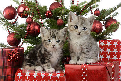 Cute Kitten Xmas Presents Poster by Greg Cuddiford