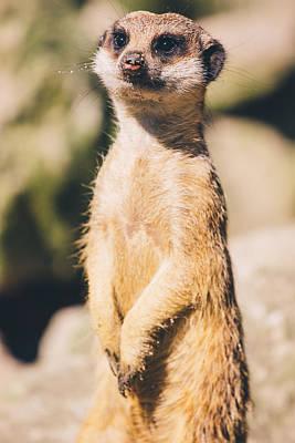 Cute Meerkat Portrait Poster by Pati Photography