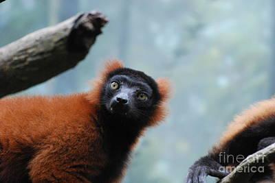 Cute Red Ruffled Lemur Poster by DejaVu Designs