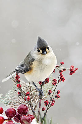 Cute Winter Bird - Tufted Titmouse Poster by Christina Rollo