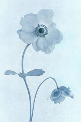Cyanotype Windflowers Poster by John Edwards