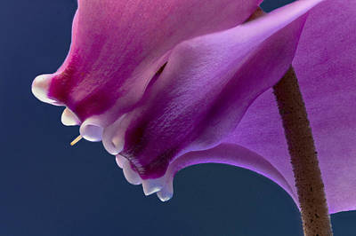 Cyclamen Close Up Poster by Jean Noren