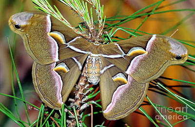Cynthia Moth Poster by Millard H. Sharp