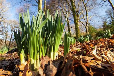 Daffodils In Spring In Ambleside Poster by Ashley Cooper