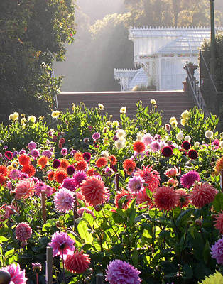 Dahlias At Golden Gate Park Poster by Armand Cabrera