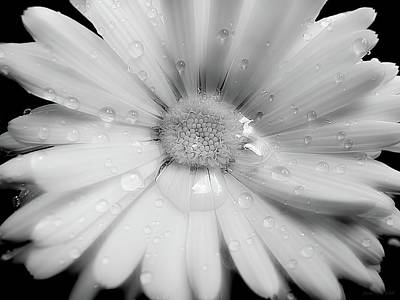 Daisy Flower Raindrops Monochrome Poster by Jennie Marie Schell