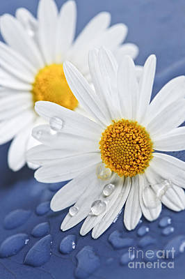 Daisy Flowers With Water Drops Poster by Elena Elisseeva