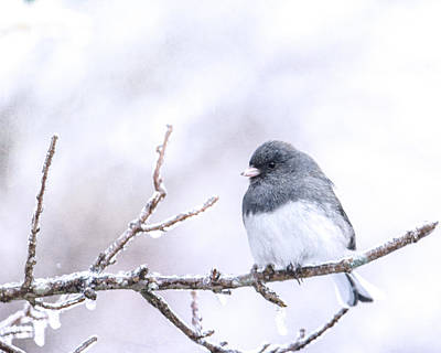 Birdwatching Poster featuring the photograph Dark Eyed Junco by Jon Woodhams