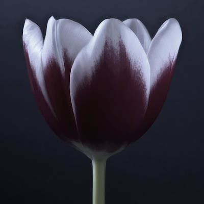 Black And White Purple Tulips Flowers Art Work Photography Poster by Artecco Fine Art Photography