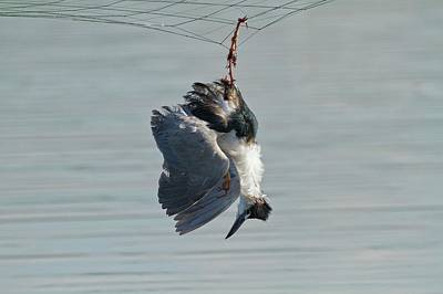 Dead Heron Caught In Net Poster by Photostock-israel