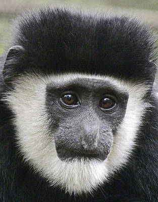 Demure Young Black And White Colobus Poster by Margaret Saheed