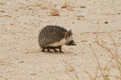 Desert Hedgehog (paraechinus Aethiopicus) Poster by Photostock-israel