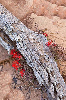 Desert Indian Paintbrush Flowers Poster by Chuck Haney
