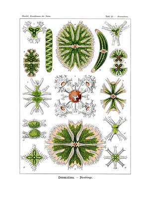 Desmidiea Poster by Ernst Haeckel