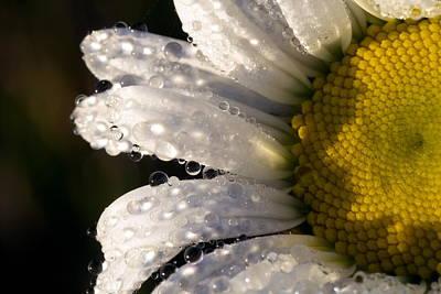 Dew Cover Daisy IIi Poster by Amanda Kiplinger