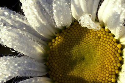 Dew Covered Daisy Poster by Amanda Kiplinger