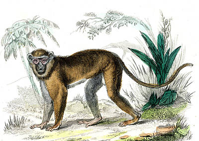 Diana Monkey Poster by Collection Abecasis
