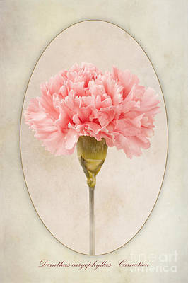 Dianthus Caryophyllus Carnation Poster by John Edwards