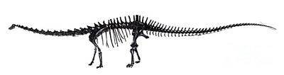 Diplodocus Dinosaur, Fossil Skeleton Poster by Natural History Museum, London