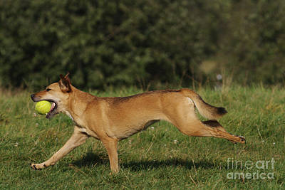 Dog Playing Fetch Poster by Brinkmann/Okapia