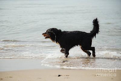 Dog Walks In Water Poster by Aleksey Tugolukov