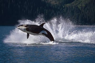 Double Breaching Orcas Bainbridge Poster by Calvin Hall