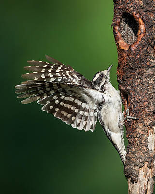 Downy Woodpecker Female Poster by Bill Wakeley