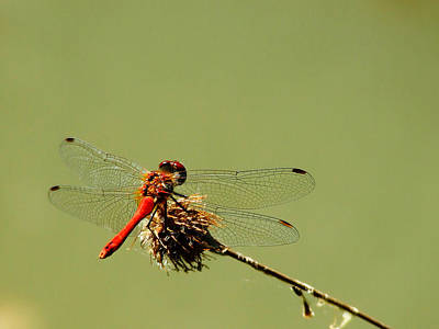 Dragonfly Poster by Balica  Marius