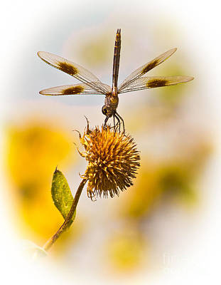 Dragonfly On Dead Bud Poster by Robert Frederick