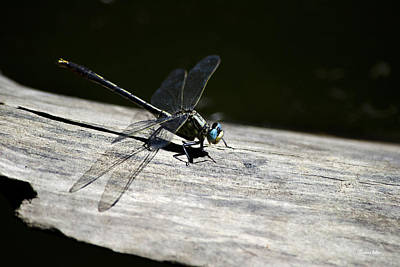 Blue Eyed Dragonfly On A Log Poster by Christina Rollo