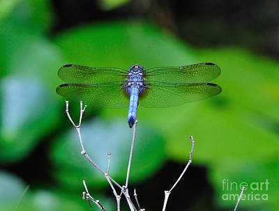 Dragonfly Water Lily - Blue Dragonfly At Rest Over Water Lilies Poster by Wayne Nielsen