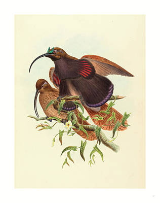 Drepanornis Albertisi Black-billed Sicklebill Bird Poster by John Gould (1804-1881) And W. Hart (fl. 1851-1898), English (fl. 1851-1898), English