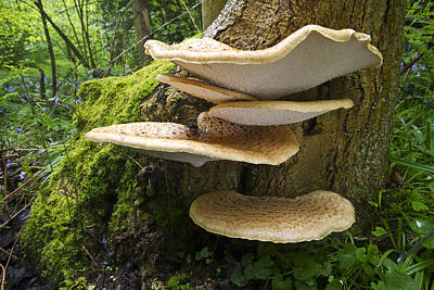 Dryads Saddle Mushrooms On Tree Trunk Poster by Edwin Rem