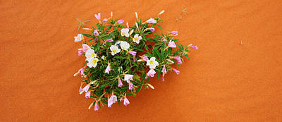Dune Evening Primrose Flowers In Sand Poster by Panoramic Images