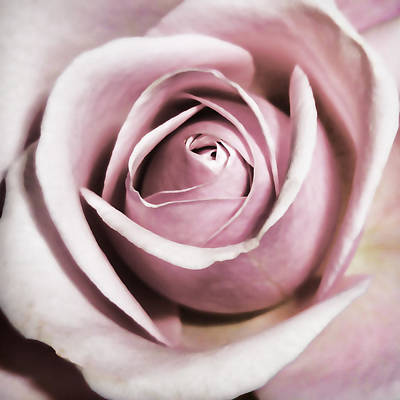 Dusky Rose Poster by Sharon Lisa Clarke
