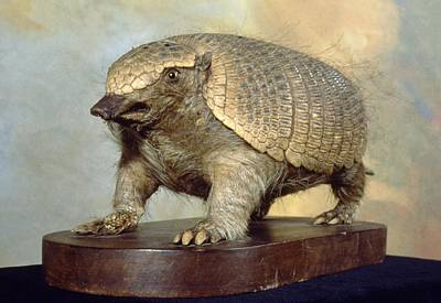 Dwarf Armadillo Poster by Science Photo Library