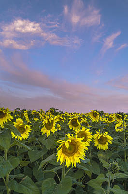 Early Morning Sunflowers Poster by Thomas Pettengill