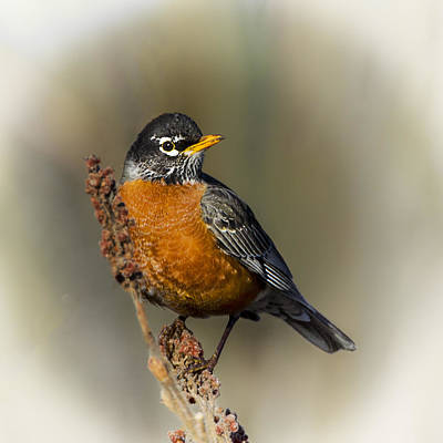 Early Spring Robin Poster by Barbara Smith