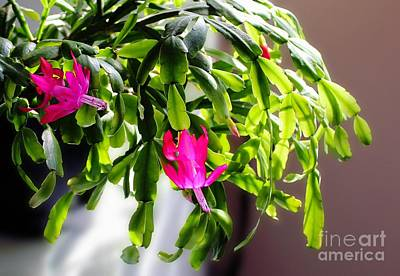 Easter Cactus In The Sun Poster by Barbara Griffin