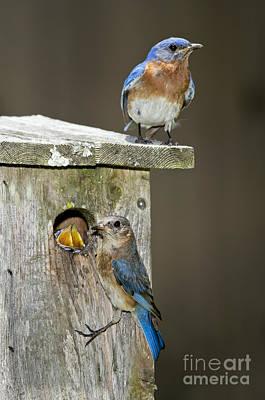 Eastern Bluebird Family Poster by Anthony Mercieca