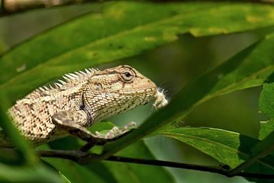 Eastern Garden Lizard Eating Poster by K Jayaram