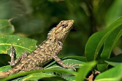 Eastern Garden Lizard Poster by K Jayaram