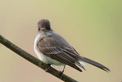 Eastern Phoebe Poster by Bill Wakeley