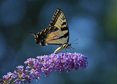 Eastern Tiger Swallowtail Butterfly Poster by Sandy Keeton