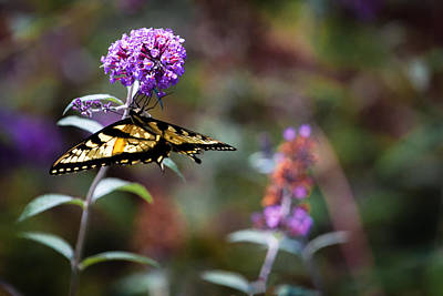 Eastern Tiger Swallowtail On Budleia Poster by Rob Travis