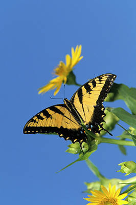 Eastern Tiger Swallowtails (papilio Poster by Richard and Susan Day