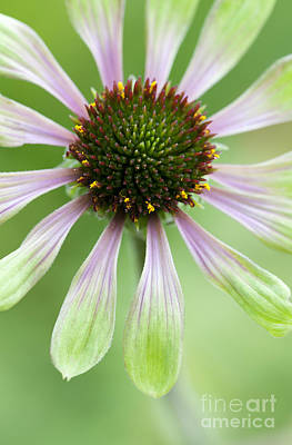 Echinacea Green Envy Flower Poster by Tim Gainey