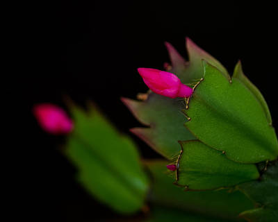 Echoing Christmas Cactus Buds Poster by Rona Black