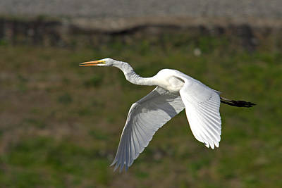 Egret Fly By Poster by Jim Nelson