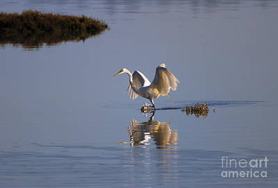 Egret Reflections Poster by Mike  Dawson